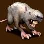 Czarny wilczy szczur