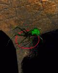 pająk przenikający
